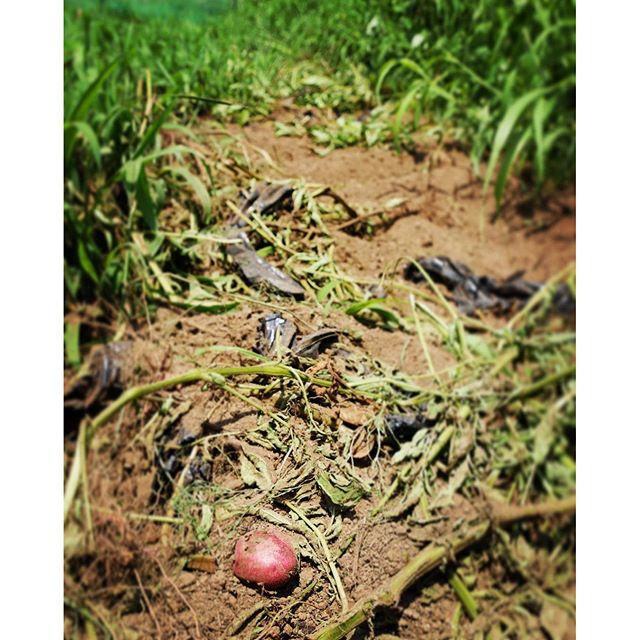 andes キタアカリとアンデスを植え付けた畝が マルチもろとも見事に掘りかえされ 食べられていた^^; どうせなら食べ残さないでほしかった^^; 哀愁^^; #nagasakabase #mountainmountain #そんなあなたはスパイシー #mountainlife