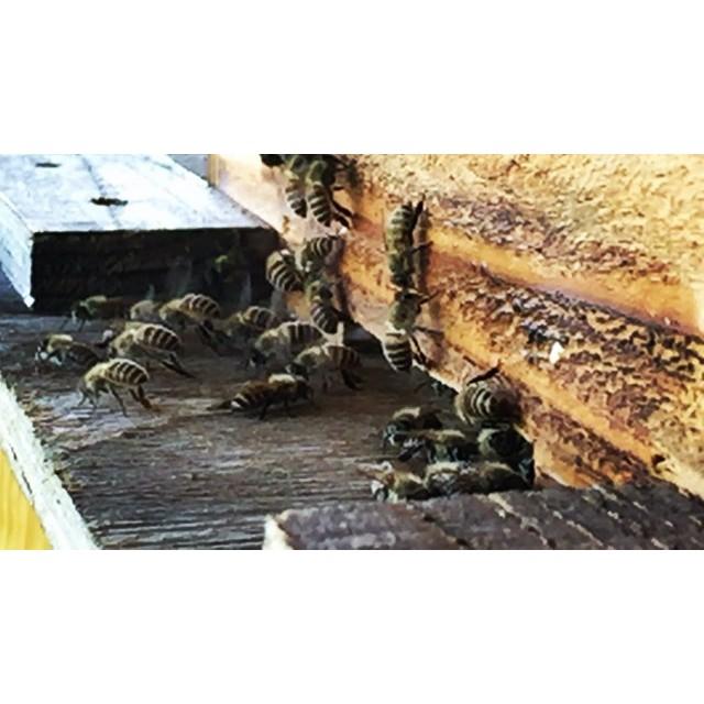 japanese bee 暑い日が続いているので 庭先の日本蜜蜂も大変そう^^; 木陰にあるとはいえ 巣箱の中は暑いようで 出入口では 働きバチたちが必死に巣箱の中へと空気を送り込む作業を繰り返しています^^ #nagasakabase #mountainmountain #そんなあなたはスパイシー #mountainlife #japanesebee #日本蜜蜂