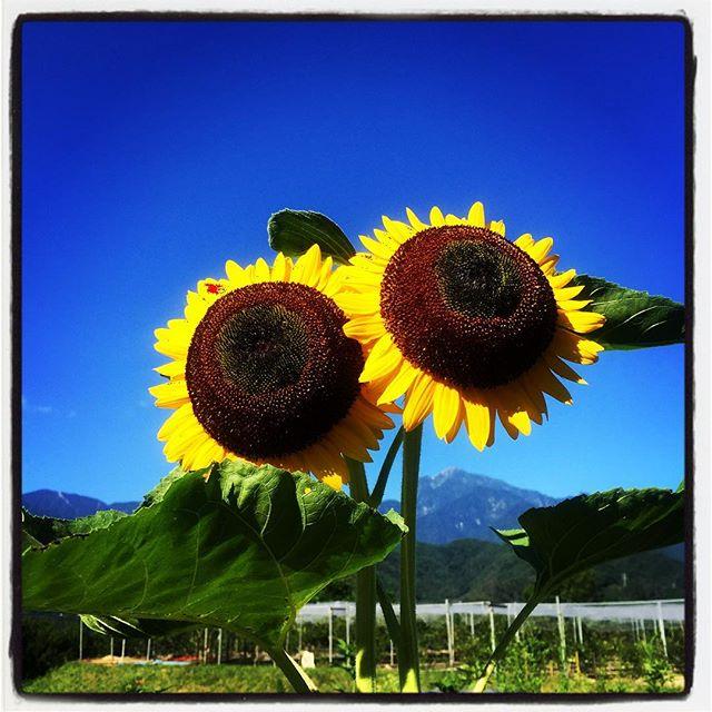 himawari畑のひまわりがいつの間にか咲いていた^^ #nagasakabase #mountainmountain #そんなあなたはスパイシー #mountainlife