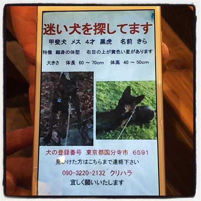 lost dog ご協力お願いします。甲斐犬が迷子になっております。mountain*mountain付近でも 同じような犬の目撃情報がありましたので 飼い主の方の了解のもと 掲載させていただきます。もし 目撃、保護された方がおられましたら 飼い主さんへご連絡いただければと思います。よろしくお願いします。#mountainmountain #nagasakabase #そんなあなたはスパイシー #mountainlife #lostdog #迷子犬