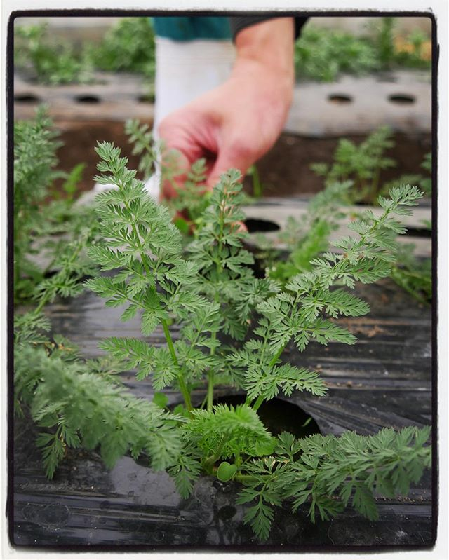 calotte サラダやピクルスなどに使っているベビーキャロットをハウスで作ってくれている 白州ののっぽ農園・貴浩くんを訪ねました^^ 工夫をしながらの 試行錯誤で様々な野菜を届けてくれるます^^ #mountainmountain #nagasakabase #そんなあなたはスパイシー #mountainlife #のっぽ農園 #calotte
