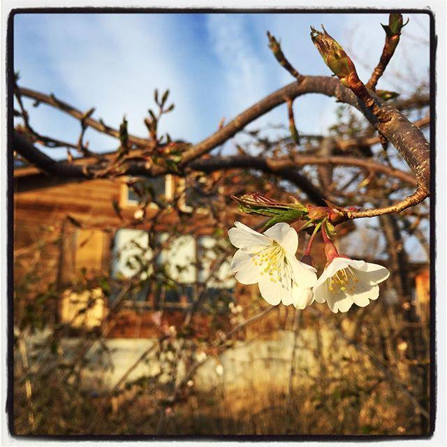 sakura敷地内の枝垂れ桜も少しづつ花が咲き始めました^^ #nagasakabase #mountainmountain #そんなあなたはスパイシー #sakura