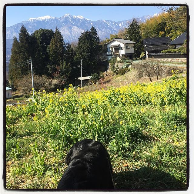 field mustard いつものところの菜の花が咲い満開^^ 花も綺麗だし 景色も天気も良いけれど abbeyは食い気^^;ただひたすら菜の花をむさぼる^^; #nagasakabase #mountainmountain #そんなあなたはスパイシー #mountainlife #fieldmustard