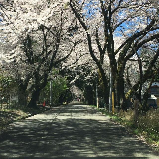 row of cherry blossom trees 真原の桜並木が満開^^お客さんをアテンド中^^多分今日が最高に綺麗かもしれません。青空だし^^ #nagasakabase #mountainmountain #そんなあなたはスパイシー #mountainlife #桜並木 #桜 #sakura