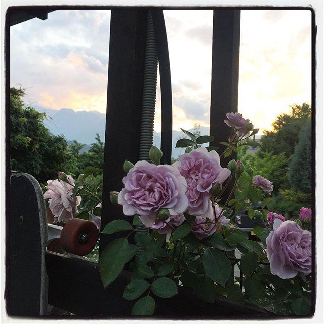 rainyblue 薔薇が満開になってきた^^レイニーブルーという名の品種です^^ 隣のモッコウバラ、南側の自生の野バラもよく咲いている^^ この前新たに植えた レオナルド・ダ・ピンチにも蕾が膨らみ始めた^^ 今年はバラがよく咲きそう^^ #nagasakabase #mountainmountain #そんなあなたはスパイシー #mountainlife #rose #バラが咲いた