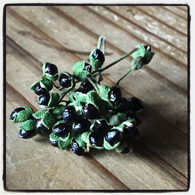 japanese pepper 摘んできた山椒の実を乾燥させていたら弾けてきた^^ #mountainmountain #nagasakabase #そんなあなたはスパイシー #mountainlife #japanesepepper #山椒