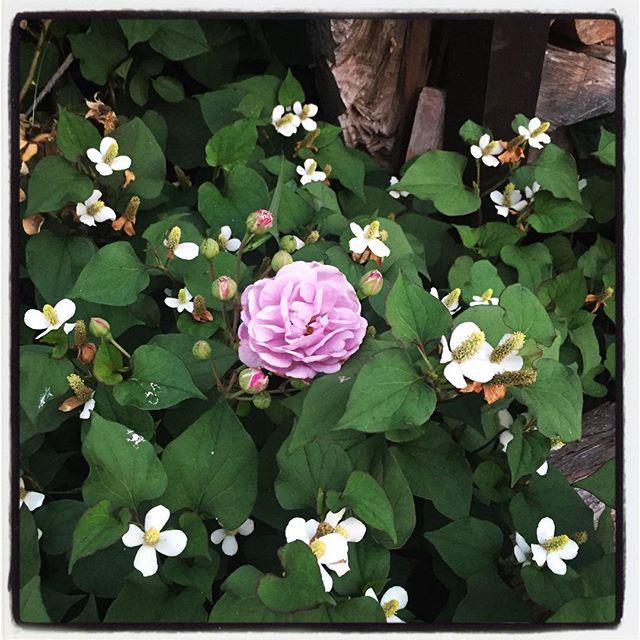 rainy blue nagasaka*baseないの薔薇もつぎつぎと開花中^^ 足元に違和感を感じたら ドクダミの花の中から 薔薇が一輪咲いてました^^ 薔薇もドクダミも綺麗です^^ #nagasakabase #mountainmountain #そんなあなたはスパイシー #mountainlife #rainyblue