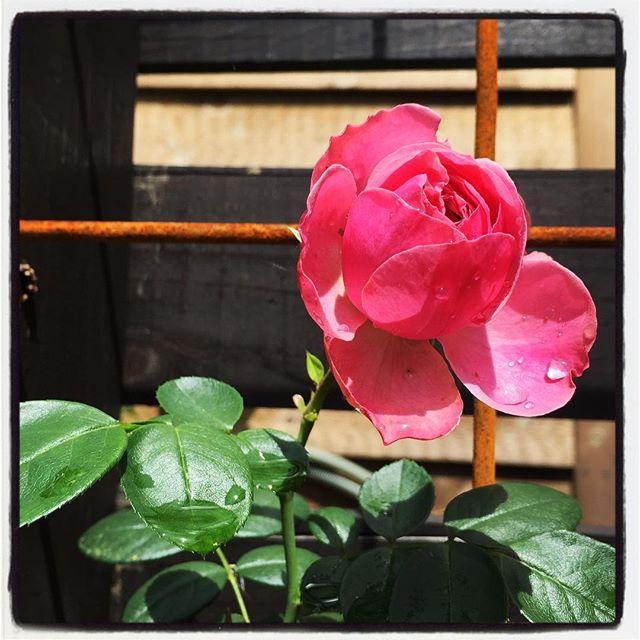 leonardo da vinci 中庭の壁に這わせた レオナルド ダ ピンチ(Leonardo da Vinci)という品種の薔薇が咲きはじめた^^名前で買ったのだけれど 良い色です^^ #nagasakabase #mountainmountain #そんなあなたはスパイシー #mountainlife #LeonardodaVinci #薔薇が咲いた