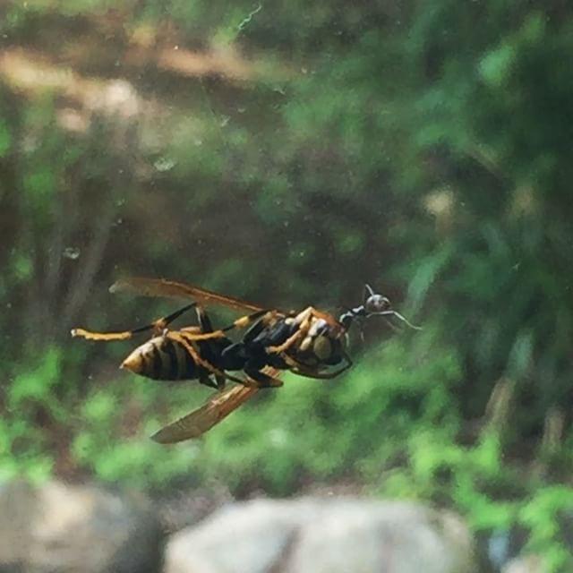 mighty ant 車で出かけようと思ったら フロントガラスに蜂^^; っと思ったら アリが引っ張ってました^^ #nagasakabase #mountainmountain #そんなあなたはスパイシー #mountainlife #mightyant