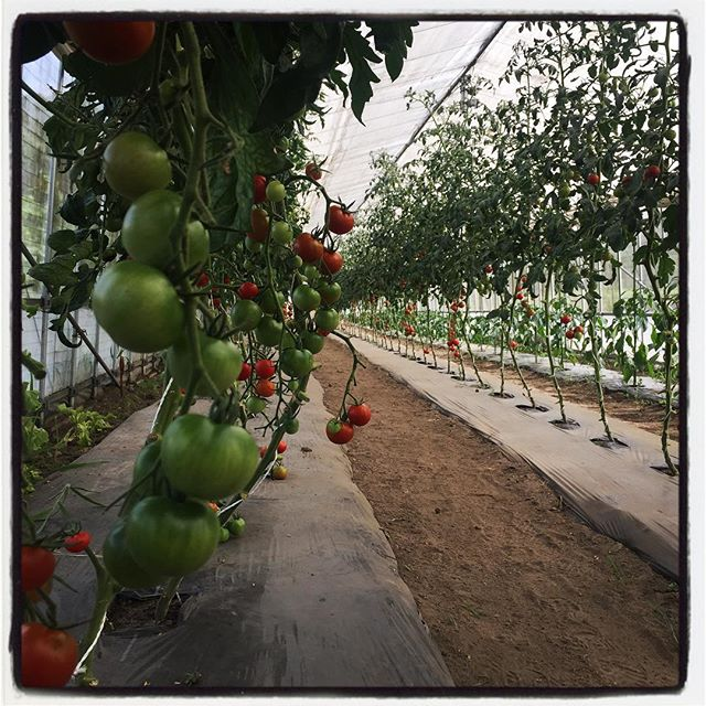 tomato トマトソースに使わせてもらったトマトを見に行く^^ トマトソースの第二弾を作るな^^ #mountainmountain #nagasakabase #そんなあなたはスパイシー #mountainlife #tomato #tomato sauce #farmacy