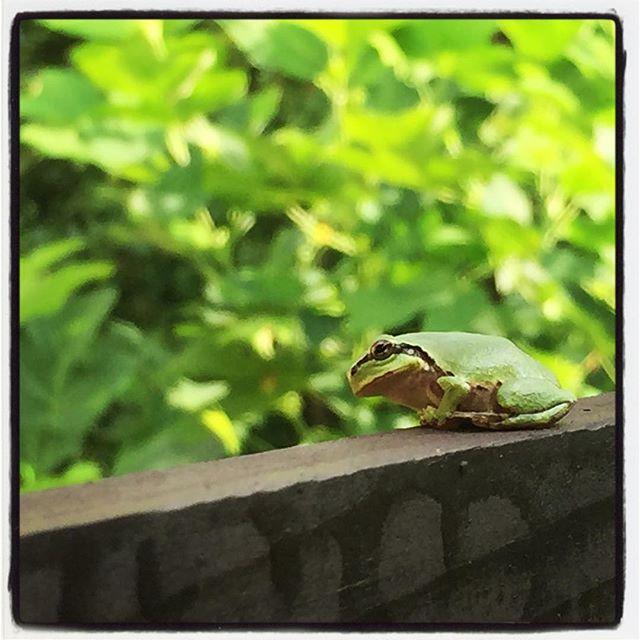 inexplicable froggy いつも同じような場所にいて 何処かを見ている^^何考えてるのか聞いてみたい^^; #nagasakabase #mountainmountain #そんなあなたはスパイシー #mountainlife #inexplicable #frog #froggy #カエル