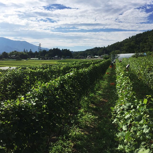 harvesting 今日はお店はお休みで ご近所さんの ワイン用の葡萄の収穫と ランチケータリング^^ #mountainmountain #nagasakabase #そんなあなたはスパイシー #mountainlife #harvesting #甲斐駒ヶ岳 #ワイン用の葡萄の収穫