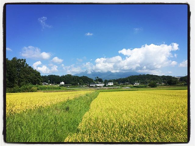 rice field 田圃の稲穂がこうべをたれて そろそろ収穫の秋^^ #nagasakabase #mountainmountain #そんなあなたはスパイシー #mountainlife #ご飯が美味しい