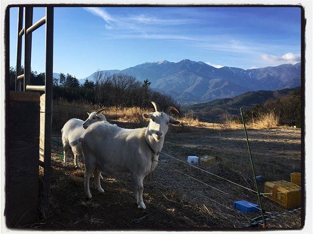 goat &  mountain アビ・マリの散歩に引率︎ 途中の農家さんのヤギに挨拶︎アビはヤギよりも 落ちてる糞が気になってしょうがないらしい^^; #goat#mountain #mountain mountain #nagasaka #nagasakabase #yatsugatakebase #yatsugatake #そんなあなたはスパイシー #山梨 #北杜 #移住 #定住 #旅人 #vagabond #料理人 #chef #photographer #cameraman #カメラマン #写真家 #japan #food #料理 #foodpic #foodstagram #foodie #restaurant #kitchen #stories