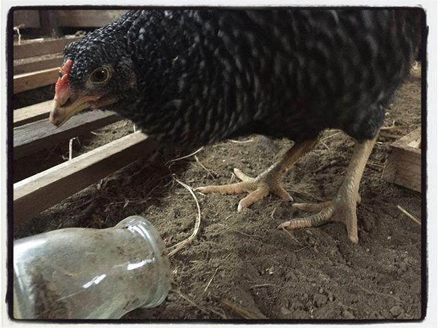 rooster 午後から雪︎今日は ニワトリが出迎えてくれました︎ #rooster#mountain #mountain mountain #nagasaka #nagasakabase #yatsugatakebase #yatsugatake #そんなあなたはスパイシー #山梨 #北杜 #移住 #定住 #旅人 #vagabond #料理人 #chef #photographer #cameraman #カメラマン #写真家 #japan #food #料理 #foodpic #foodstagram #foodie #restaurant #kitchen #stories