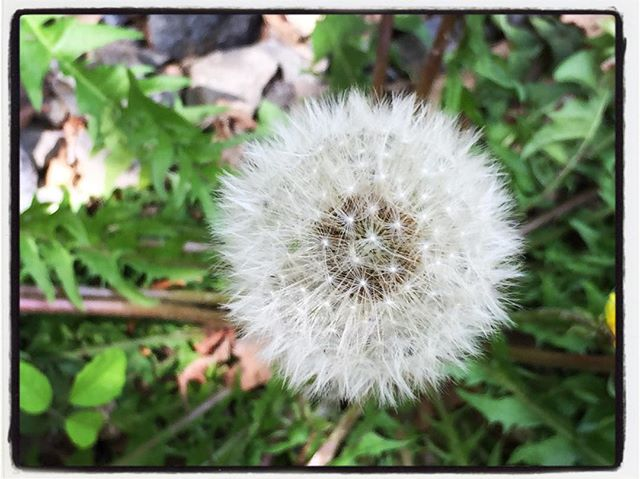 dandelion まあるくきれいに綿毛でした︎ #dandelion#mountain #mountainmountain #nagasaka #nagasakabase #yatsugatakebase #yatsugatake #そんなあなたはスパイシー #山梨 #北杜 #移住 #定住 #旅人 #vagabond #料理人 #chef #photographer #cameraman #カメラマン #写真家 #japan #food #料理 #foodpic #foodstagram #foodie #restaurant#kitchen #stories